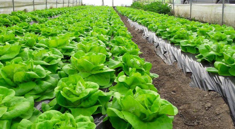 Zelena salata – mala zelena apoteka