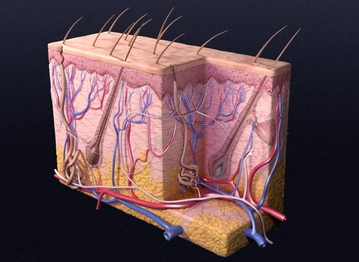Šta znamo o najvećem organu ljudskog tela?