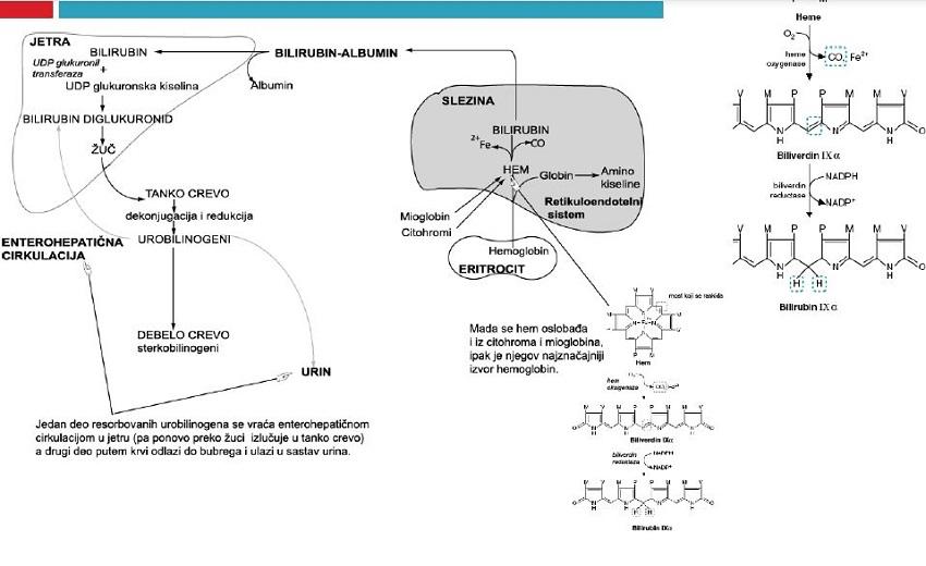 metabolizam bilirubina