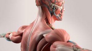 sta-su-miofibrili